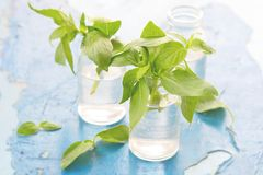 Fresh sweet basil Stock Photos