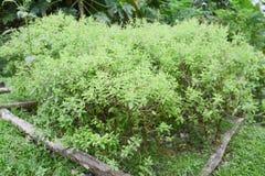 Fresh sweet basil in vegetable plot Royalty Free Stock Images