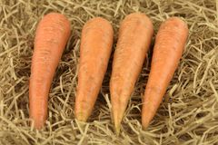 Fresh and sweet carrot. Vegetable on a hay straw grass.  Royalty Free Stock Images