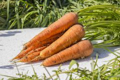 Fresh and sweet carrots in the grass in the garden. Royalty Free Stock Photo