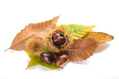 Fresh sweet chestnuts. With shells isolated on white Royalty Free Stock Images