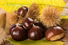 Fresh sweet chestnuts. With shells Royalty Free Stock Images