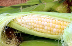 Fresh Sweet Corn Stock Image