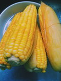 The fresh sweet corn. Corn as a good source of fiber.  Fresh and healthy Stock Photos
