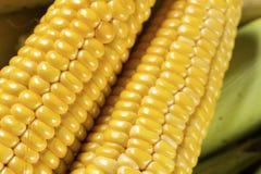 Fresh sweet corn Stock Photos