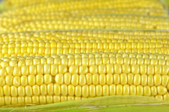 Fresh sweet corn. On the cobs Royalty Free Stock Photo