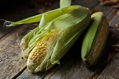 Fresh sweet corn on cobs . Fresh sweet corn on cobs on rustic wooden table. Healthy organic food Royalty Free Stock Images