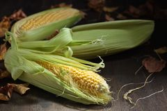 Fresh sweet corn on cobs . Fresh sweet corn on cobs on rustic wooden table. Healthy organic food Stock Photo