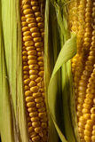 Fresh sweet corn on cobs . Healthy organic food Stock Photos