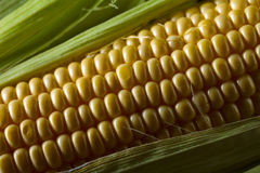 Fresh sweet corn on cobs . Healthy organic food Royalty Free Stock Photos