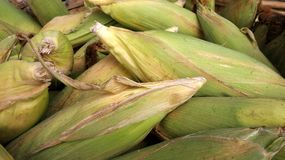 Fresh sweet corn Royalty Free Stock Image