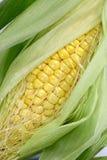 Fresh sweet corn Stock Image