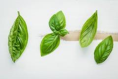 Fresh sweet green basil leaves on  white shabby wooden backgroun Royalty Free Stock Photos
