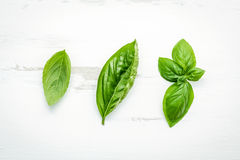 Fresh sweet green basil leaves on  white shabby wooden backgroun Stock Image