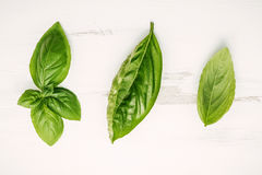 Fresh sweet green basil leaves on  white shabby wooden backgroun Royalty Free Stock Photography
