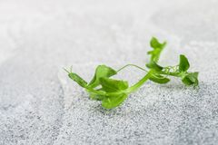 Fresh sweet green pea sprout. Microgreen stock photos