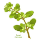 Fresh Sweet Marjoram Herb Stock Photos
