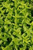 Fresh sweet mint Stock Photo