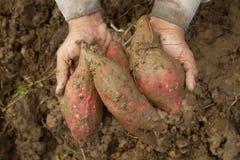 Fresh sweet potato on farmer hand Stock Photography