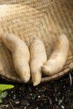 Fresh Sweet Potatoes. Royalty Free Stock Photography