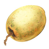 Fresh sweet Sapodilla fruit, whole isolated object, watercolor illustration on white Stock Photography