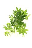 Fresh sweet woodruff with blossoms Royalty Free Stock Images