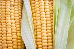 Fresh sweet yellow corn Stock Image