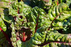 Fresh Swiss chard growing in field Royalty Free Stock Images