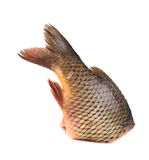 Fresh tail of carp fish. Stock Photography