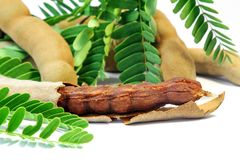 Fresh Tamarind on Pod, Fruit and Food ingredient. Royalty Free Stock Photography