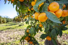 Fresh tangerine tree in garden. Agriculture concept photo.  stock images