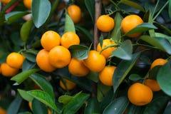 Fresh Tangerines on tree stock photo