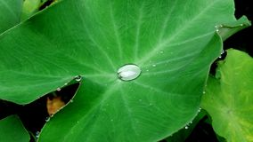 Fresh taro leaf with a rain droplet. In the middle of the leaf Royalty Free Stock Photography