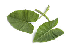 Fresh Taro leaves Stock Photography