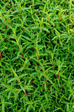 Fresh Tarragon Background Stock Photos