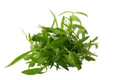 Fresh tarragon herbs, Tarragon herbs close up isolated on white. Background royalty free stock image