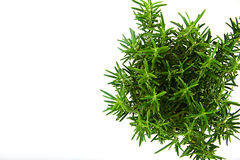 Fresh Tarragon Spice Royalty Free Stock Photo
