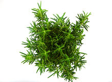 Fresh Tarragon Spice Royalty Free Stock Image