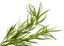 Fresh tarragon twigs Royalty Free Stock Images