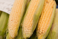 Fresh tasty corn macro closeup on market outdoor Stock Images