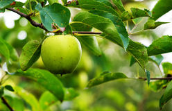 Fresh and tasty green apple in the tree Stock Photo