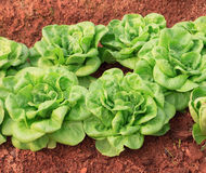 Fresh and tasty lettuce plantation Royalty Free Stock Image