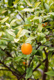 Fresh tasty oranges riped on green tree in home garden in sun ra Royalty Free Stock Images