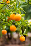 Fresh tasty oranges riped on green tree in home garden in sun ra Royalty Free Stock Photography