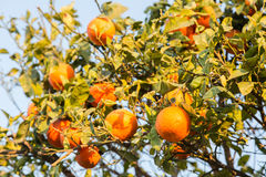 Fresh tasty oranges riped on green tree in home garden in sun ra Stock Images