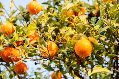 Fresh tasty oranges riped on green tree in home garden in sun ra Stock Photography