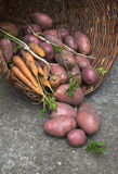 Fresh tasty potatoes with carrot in basket. Royalty Free Stock Photos