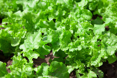 Fresh tasty salad on field Royalty Free Stock Photo