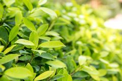Fresh tea bud and leaves.Tea plantations. natural green plants landscape, ecology, fresh wallpaper concept. Nature view of green leaf on blurred greenery stock image