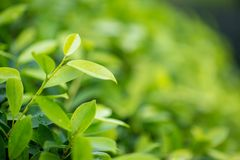 Fresh tea bud and leaves.Tea plantations. natural green plants landscape, ecology, fresh wallpaper concept. Nature view of green leaf on blurred greenery stock photos